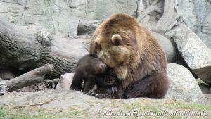 Kamtschatkabären-Mutter mit ihrem Jungem