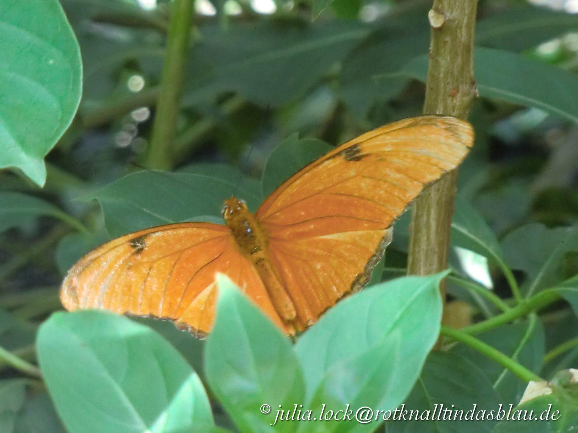 """Butterfly """"Julia"""""""