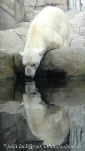 Eisbär Blizzard