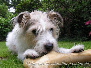Parson-Jack-Russel-Terrier