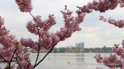 Kirschblüte Außenalster Hamburg
