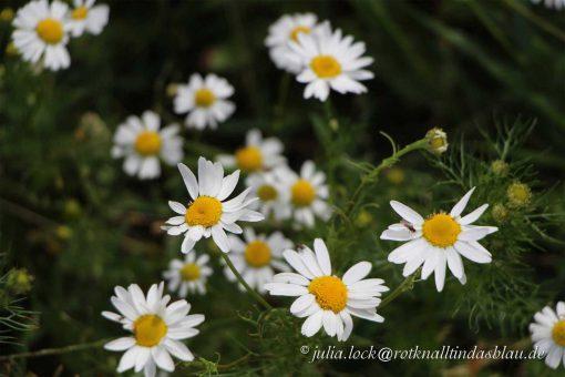 Blumen in Dänemark Margeriten