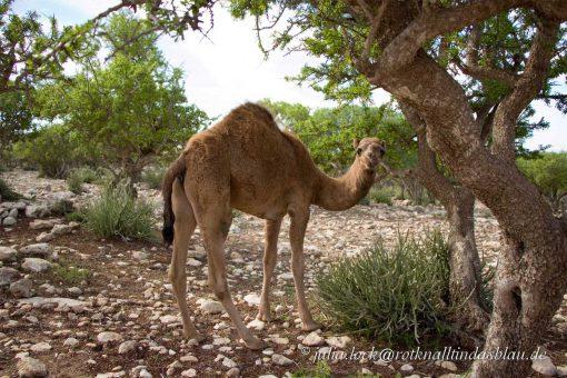 wildes Dromedar Souss-Ebene