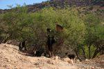 Ziegen in Arganbaum